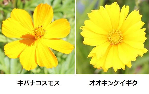 キバナコスモス(黄花コスモス)とオオキンケイギク(大金鶏菊)の花の比較写真