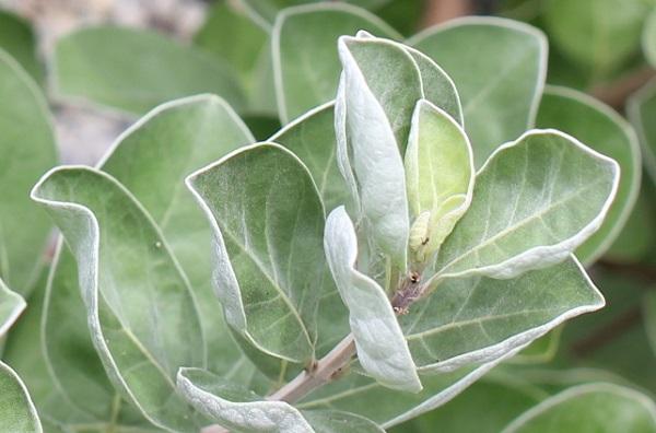 ハマゴウ(浜栲)の葉のアップ写真