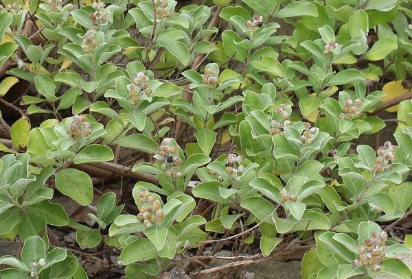 ハマゴウ(浜栲)の若い果実