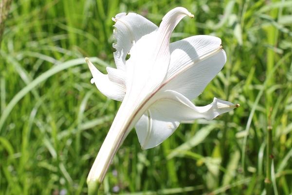 タカサゴユリ(高砂百合)の花の外側の様子