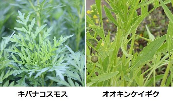 キバナコスモス(黄花コスモス)とオオキンケイギク(大金鶏菊)の葉、比較写真