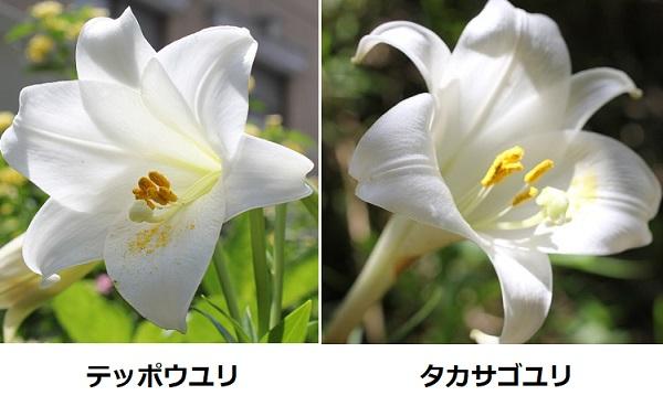 テッポウユリ(鉄砲百合)とタカサゴユリ(高砂百合)の比較写真