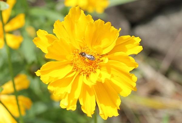 オオキンケイギク(大金鶏菊)の花のアップ写真