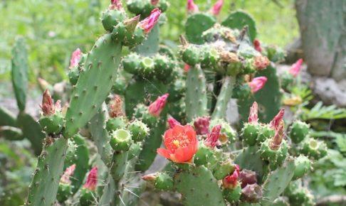 赤花団扇(アカバナウチワ)の花