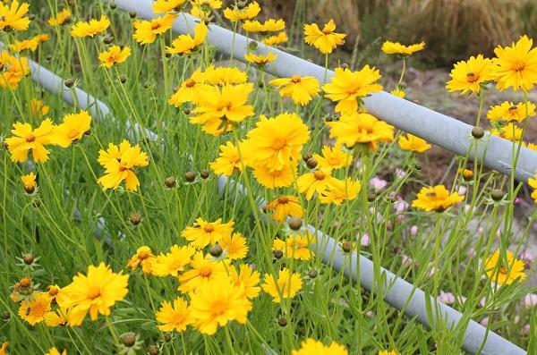 オオキンケイギク(大金鶏菊)が咲いてる様子の写真