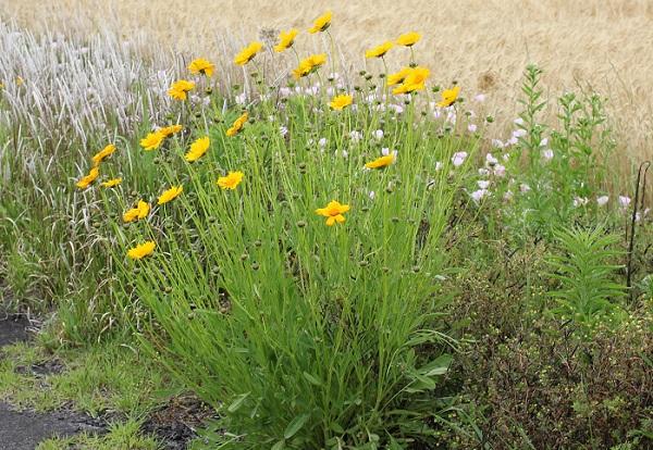 花が咲いているオオキンケイギク(大金鶏菊)の株の写真