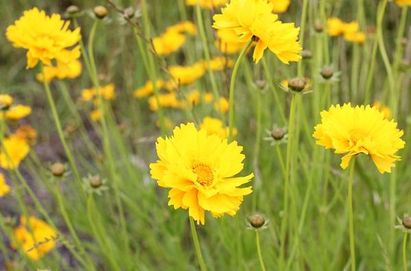 オオキンケイギク(大金鶏菊)の花の写真