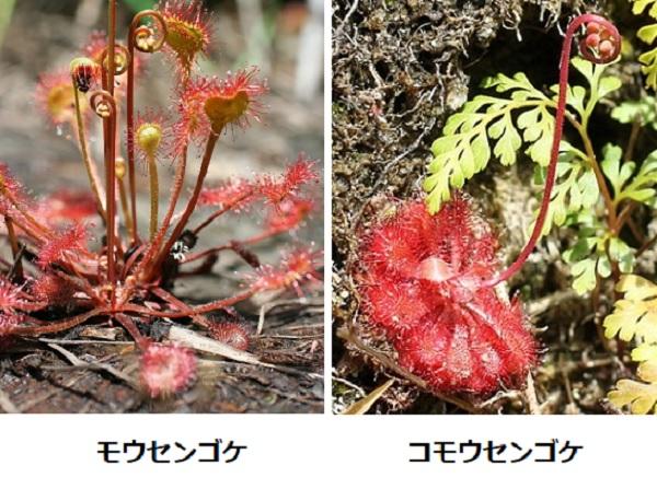 モウセンゴケとコモウセンゴケの比較写真