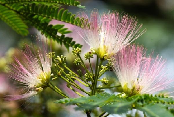 ネムノキ(合歓の木)の花のアップ写真