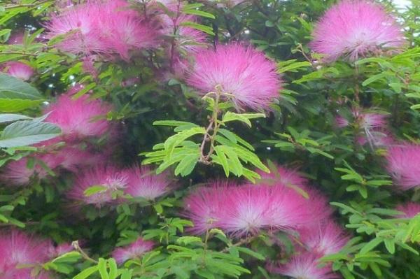 トキワネム(常盤合歓)の花の写真