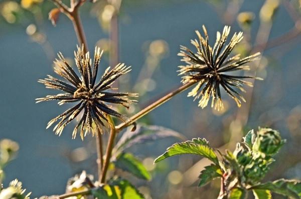 コセンダングサ(小栴檀草)の種の写真