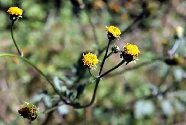 コセンダングサ(小栴檀草)の花の写真