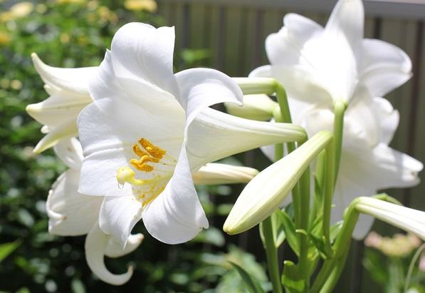 庭で咲いたテッポウユリ(鉄砲百合)の花