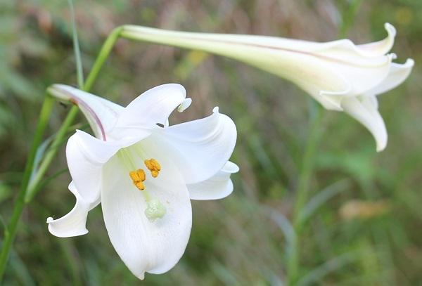 タカサゴユリ(高砂百合)の花の写真