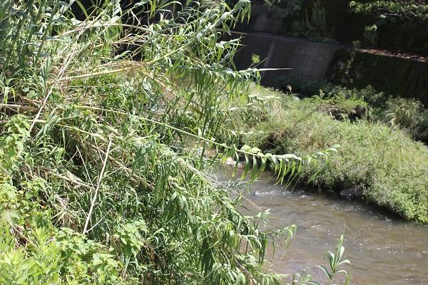 川辺で見かけたダンチク(暖竹)