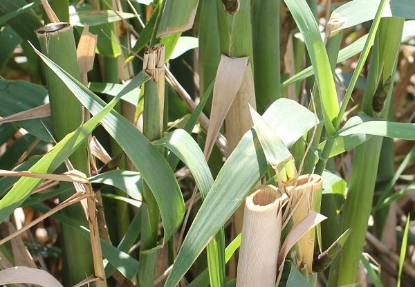 若い暖竹(ダンチク)の茎