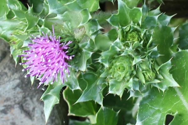ハマアザミ(浜薊)の花と蕾