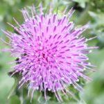 ハマアザミ(浜薊)の花