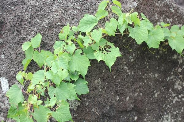 石垣にからみついているノブドウのツル