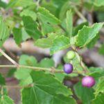 カラフルなノブドウの実の写真