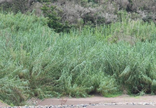 海岸に群生する暖竹(ダンチク)