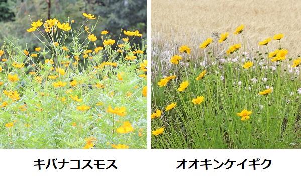 キバナコスモス(黄花コスモス)とオオキンケイギク(大金鶏菊)が咲いてる様子、比較写真