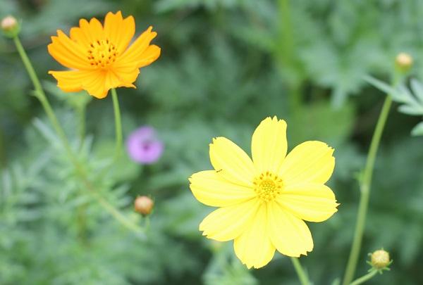 黄色いキバナコスモス(黄花コスモス)、オレンジのキバナコスモス(黄花コスモス)の花