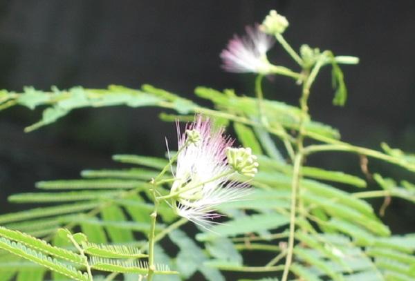 秋に咲くネムノキの花のアップ様子
