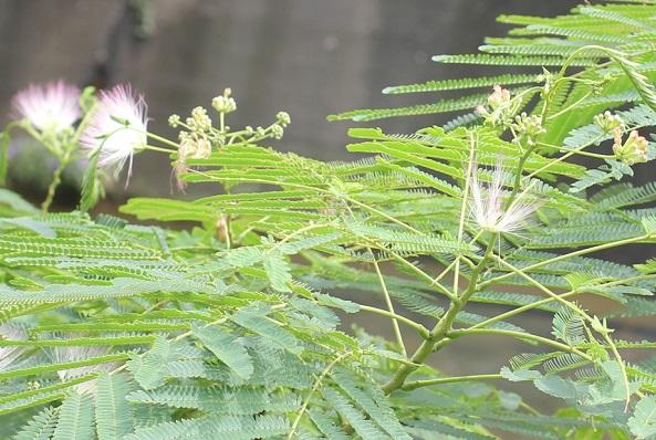 秋に咲くネムノキの花