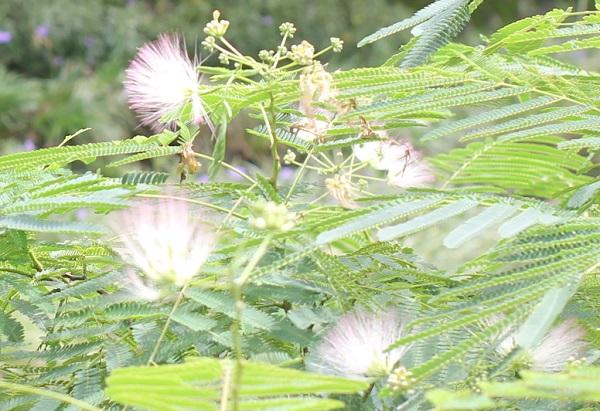 秋に咲いてるネムノキの花