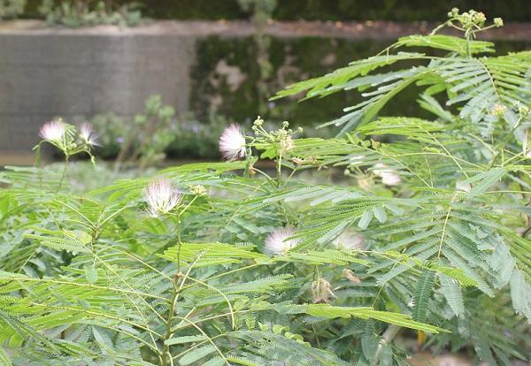 秋に花咲くネムノキの写真