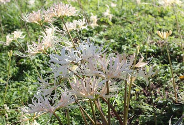 美しく咲くシロバナヒガンバナ(白花彼岸花)