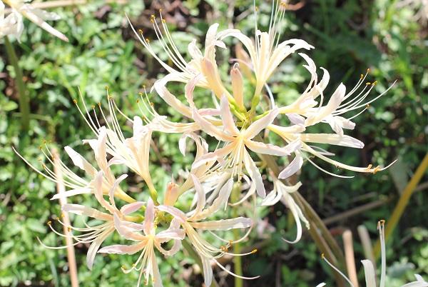 シロバナヒガンバナ(白花彼岸花)の花