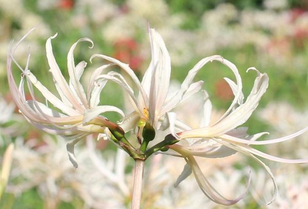 シロバナヒガンバナ(白花彼岸花)の花のアップ写真
