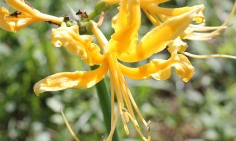 黄色ヒガンバナ、ショウキズイセン(鍾馗水仙)の花