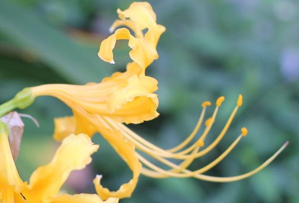 ショウキズイセン(鍾馗水仙)の花のアップ写真、雄しべや雌しべ