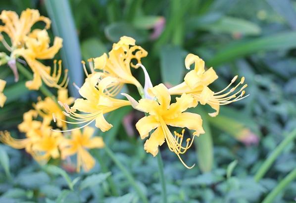 花壇に咲いているショウキズイセン(鍾馗水仙)