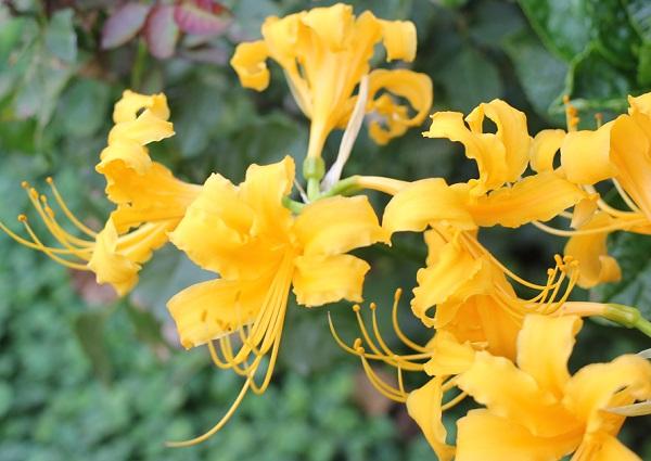 鮮やかに咲くショウキズイセン(鍾馗水仙)の花