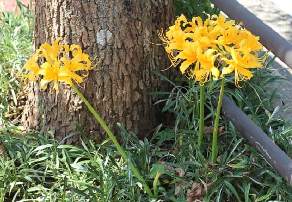 ショウキズイセン(鍾馗水仙)の花が咲いている様子
