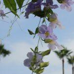青空とベンガルヤハズカズラの花