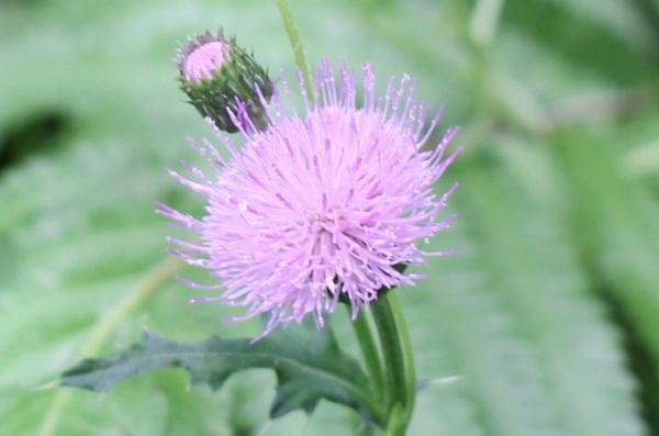 ノアザミ(野薊)の花、蕾