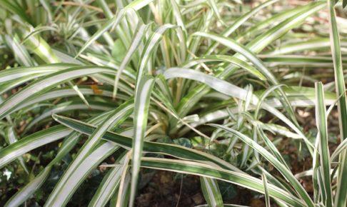 ナカフヒロハオリズルラン(中斑広葉折鶴蘭)とソトフオリヅルラン(外斑折鶴蘭)を並べて植えてる様子